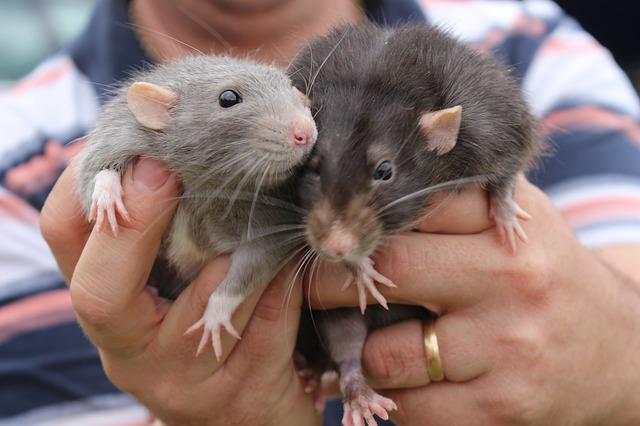فئران التجارب