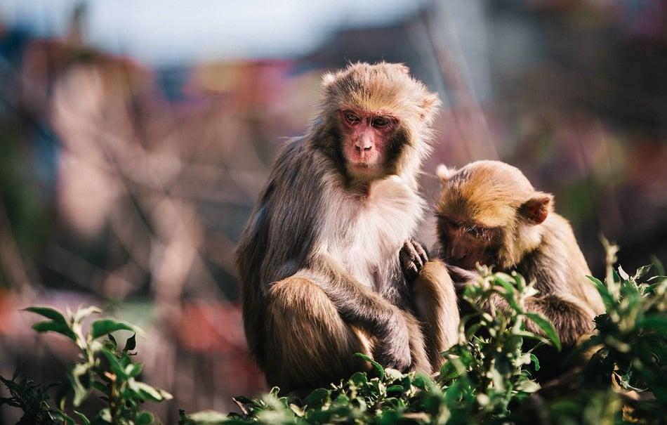 زوجان من القرود يجلسان على فرع شجرة