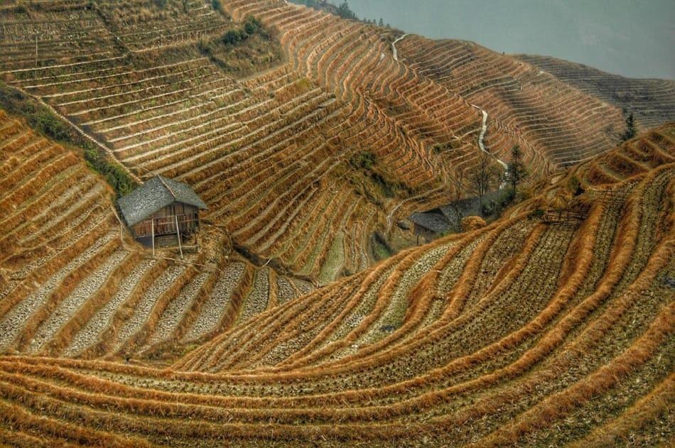 حقل أرز
