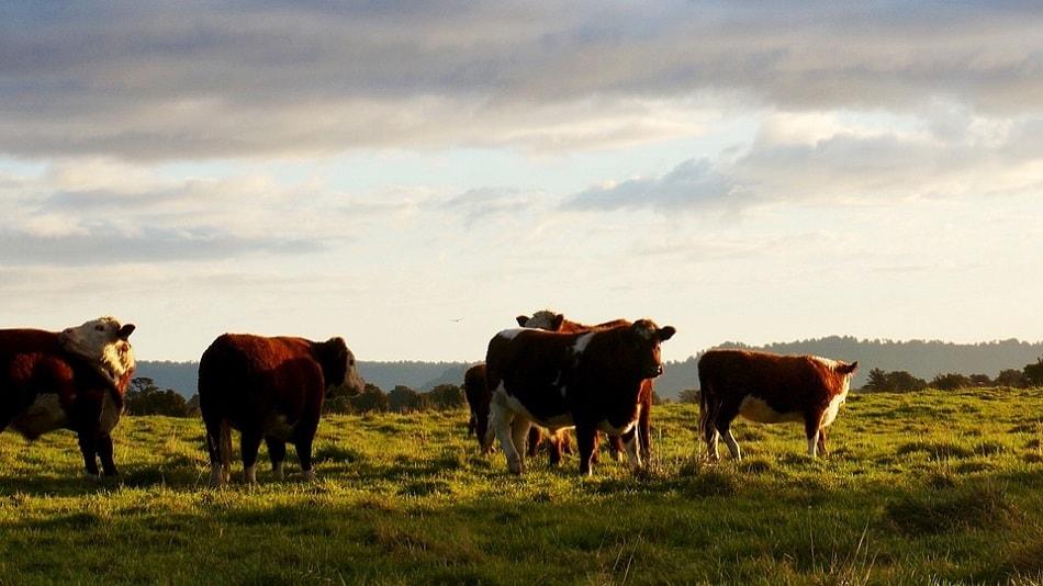 مجموعة من البقر ترعى