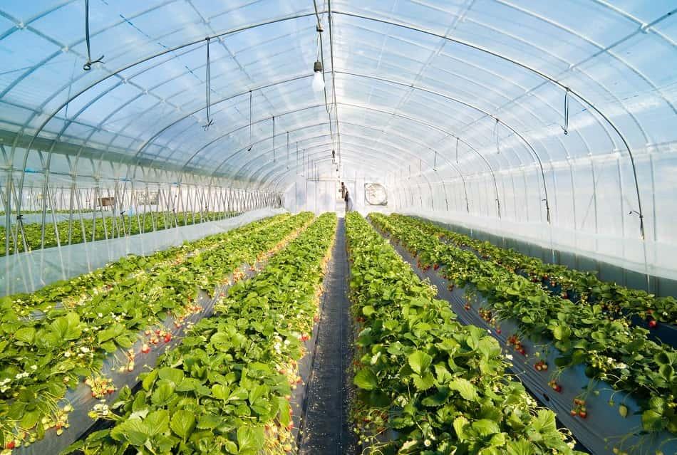 الزراعة في الصوبة الزجاجية