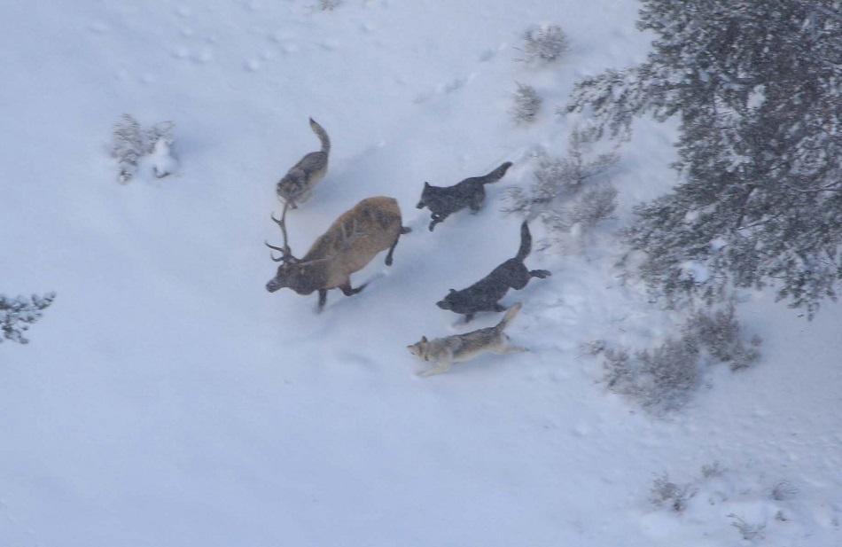 مجموعة من الذئاب تطارد حيوان الإلكة