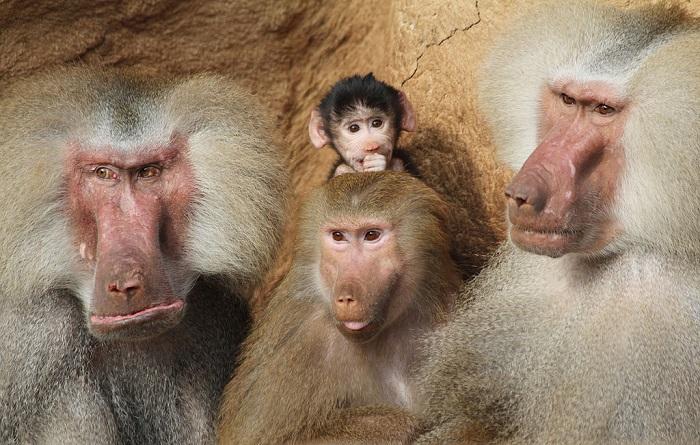 مجموعة من القرود الذكور والإناث